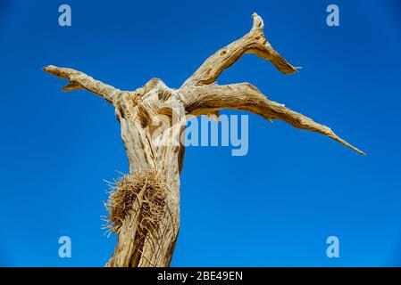 Camel Thorn tree (Vachellia erioloba) against a blue tree, Deadvlei, Namib Desert, Namib-Naukluft National Park; Namibia