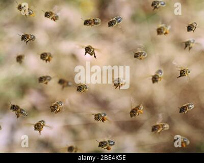 front view of flying honey bees collecting yellow pollen on brown bokeh, close up background - Stock Photo