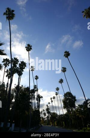 Beverly Hills, California, USA 11th April 2020 A general view of atmosphere of Palm Trees on April 11, 2020 in Beverly Hills, California, USA. Photo by Barry King/Alamy Stock Photo - Stock Photo