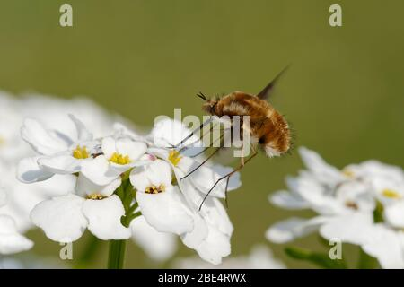 Dark-edged Bee-Fly - Bombylius major feeding on Perennial or Evergreen Candytuft - Iberis sempervirens
