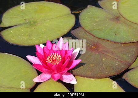 Pink Water Lily Nymphaea sp. - Stock Photo