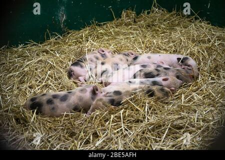 Little pigs in the hay. Animals.Close-up - Stock Photo