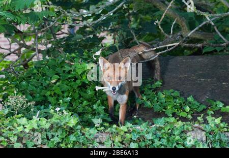 Red Fox, Vulpes vulpes, scavenging for food scraps in a garden, London, United Kingdom - Stock Photo