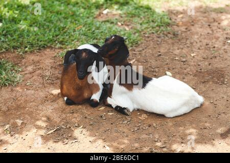 Two goats have rest on green meadow - Stock Photo