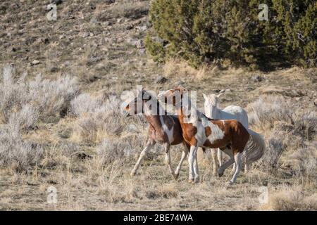 Wild horses sparring in Utah - Stock Photo