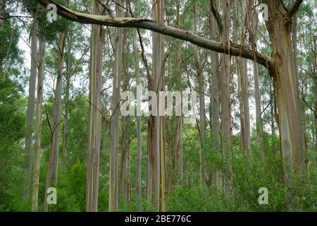 Tall straight eucalyptus tree forest in Victoria Australia. - Stock Photo