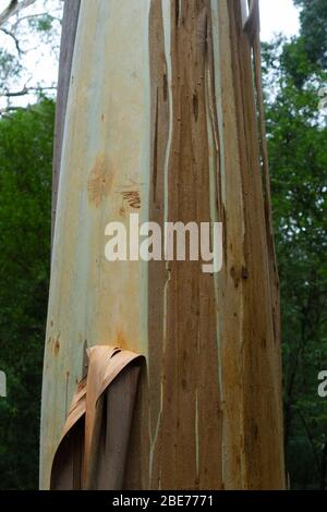 Typical tall straight eucalyptus tree closeup in forest in Victoria Australia. - Stock Photo