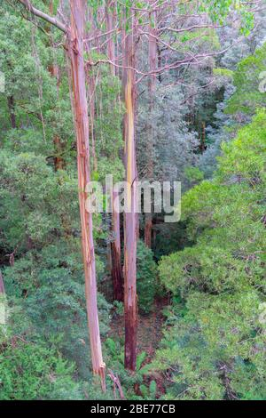 Typical Australian rainforest  with tall eucalyptus and other trees forming canopy over forest below. - Stock Photo