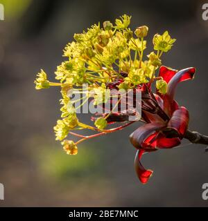 Tree Flowers - Acer platanoides 'Crimson King' - Stock Photo