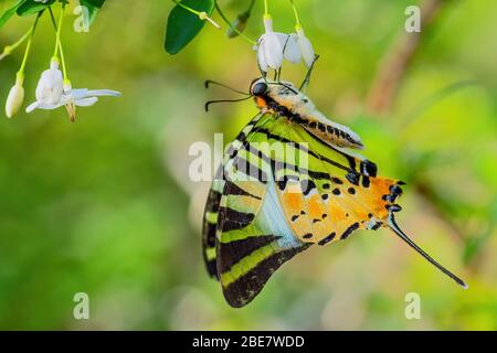 Five Bar Swordtail - Graphium antiphates, beautiful colored butterfly from Asian meadows nad woodlands, Malaysia. - Stock Photo