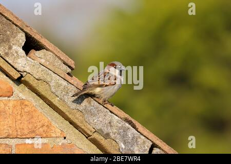 Adult male house sparrow, passer, domesticus, sitting on the roof of the house next door. - Stock Photo