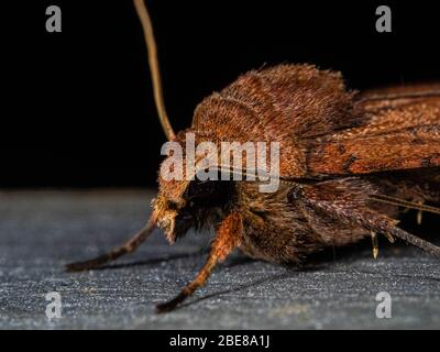 Ear Moth - Stock Photo