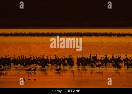 Flock of common cranes / Eurasian crane (Grus grus) group resting in shallow water, silhouetted at sunset in autumn / fall - Stock Photo