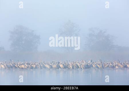 Flock of common cranes / Eurasian crane (Grus grus) group resting in shallow water during dense early morning mist in autumn / fall - Stock Photo