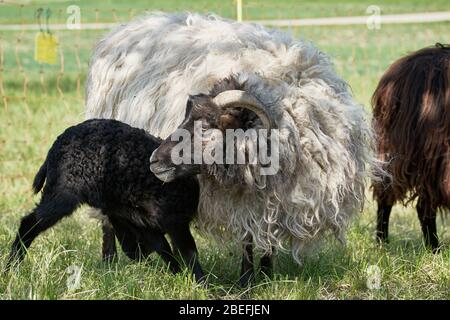 Young black sheep (lamb) nursing from mother ewe in the meadows on a sunny day