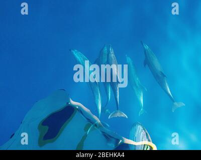 Bottlenose dolphins, Tursiops truncatus, bow-riding the Nat Geo Venture off Isla San Marcos, Baja California Sur, Mexico. - Stock Photo