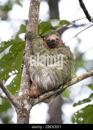 Three-toed sloth (Bradypus) sitting in a tree in the tropical jungles of Costa Rica - Stock Photo