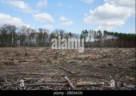 04 April 2020, Brandenburg, Märtensmühle: Burnt and charred branches and trunks lie on the forest floor. Between Hennickendorf and Märtensmühle in the district Nuthe Nieplitz, the forest fire raged in 2019. In the meantime, reforestation is being done step by step. Photo: Annette Riedl/dpa-Zentralbild/ZB - Stock Photo