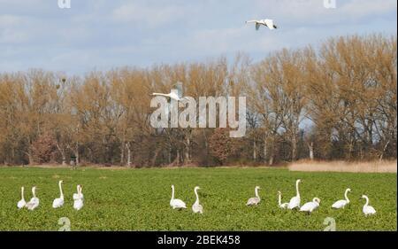 04 April 2020, Brandenburg, Märtensmühle: Many swans use the fields near Trebbin and gather there. Photo: Annette Riedl/dpa-Zentralbild/ZB - Stock Photo