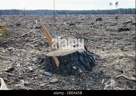 04 April 2020, Brandenburg, Märtensmühle: Many sawn-off tree stumps protrude from the forest floor in Nuthe-Nieplitz between Märtensmühle and Hennickendorf. Here large areas of forest have been burned down in 2019. Today, reforestation is slowly taking place again. Photo: Annette Riedl/dpa-Zentralbild/ZB - Stock Photo