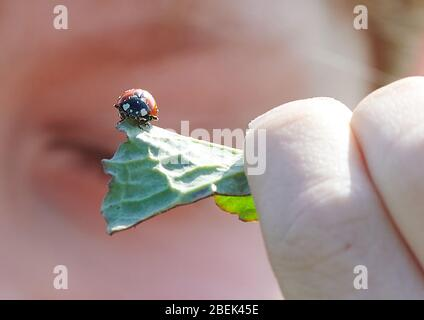 04 April 2020, Brandenburg, Märtensmühle: A child holds a ladybird sitting on a leaf. Children are often fascinated by the beautiful red colour and dots of these beetles. Photo: Annette Riedl/dpa-Zentralbild/ZB - Stock Photo