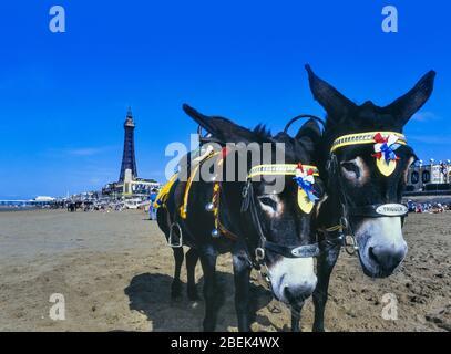 Seaside donkeys on the beach at Blackpool. Lancashire. England. UK Stock Photo