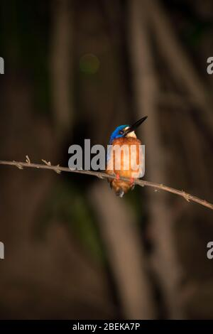 A sleeping common Kingfisher spotted during a river safari in Malaysian Borneo.