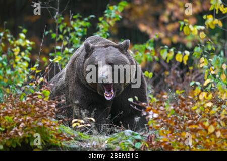 Brown bear (Ursus arctos) growling in the underbrush / brushwood / thicket in forest - Stock Photo