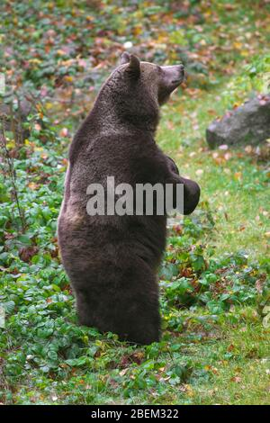 Brown bear (Ursus arctos) standing upright on its hind legs - Stock Photo