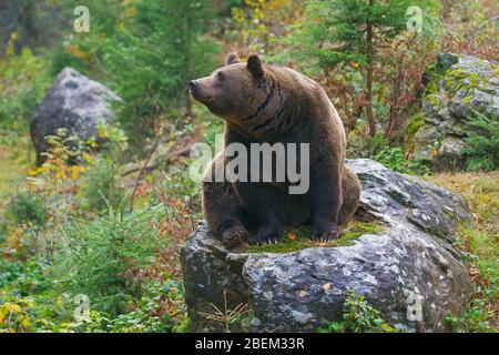 European brown bear (Ursus arctos arctos) at the Tierfreigelände, animal park in the Bavarian Forest National Park, Neuschönau, Lower Bavaria, Germany - Stock Photo