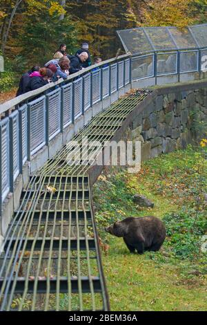 Tourists looking at European brown bear at the Tierfreigelände, animal park in the Bavarian Forest National Park, Neuschönau, Lower Bavaria, Germany - Stock Photo