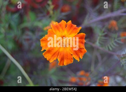 Close up macro shot of Tagetes patula, or French Marigold, a beautiful orange flower with colorful petals, bookeh or blurry background included - Stock Photo