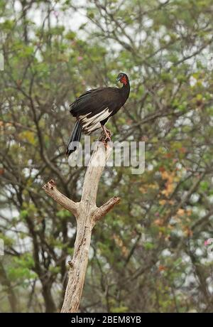 White-winged Guan (Penelope albipennis) adult perched on top of dead snag, endangered endemic species  Chaparri, Peru                      February - Stock Photo