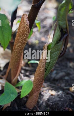Arisaema sikokianum. - Stock Photo