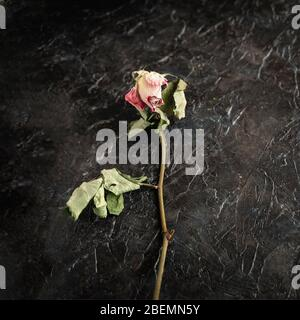 Withered rose flower on a black background, concept of sadness and memory - Stock Photo