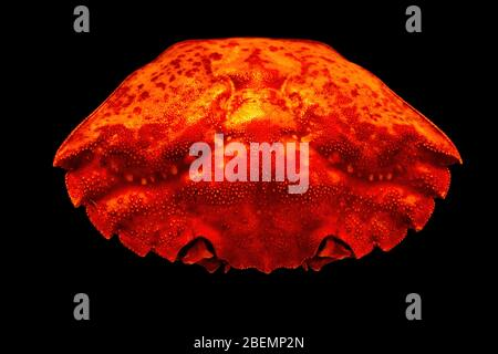 Closeup of top of bright orange common shore crab shell (Carcinus maenas) isolated on black background. - Stock Photo