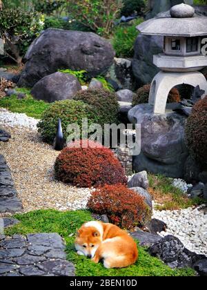 Japanese Dog, On Traditional Garden, Uji, Kyoto Prefecture, Japan - Stock Photo