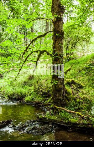A mossy tree by a stream. Moran State Park, Orcas Island, Washington, USA. - Stock Photo