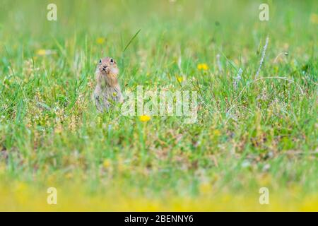 A wild European Souslik on the ground , Bulgaria - Stock Photo