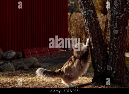 A tortoiseshell norwegian forest cat female scratching tree trunk on a springlike day - Stock Photo