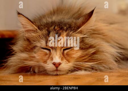 A norwegian forest cat female sleeping on a wooden floor - Stock Photo