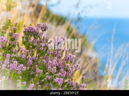 Close Up Photo Erica Of Heath Or Heather At Zingaro Nature Reserve San Vito Lo Capo Gulf Of Castellammare Province Of Trapani Sicily Italy Stock Photo Alamy