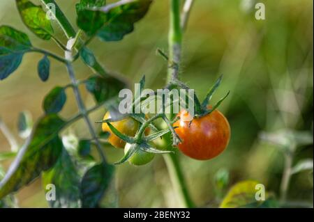 Ripe red cheery tomatoes, yellow and green tomatoes growing in a home garden - Stock Photo