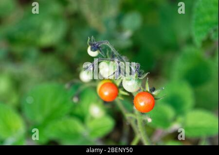 Green, unripe tomatoes grow with red ripe ones on the same stem in a home garden. - Stock Photo
