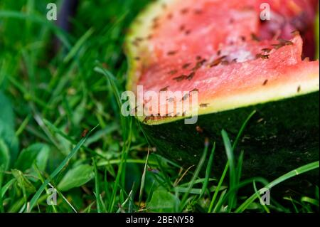Fruit flies have discovered a fest in this discarded watermelon lying on the lawn - Stock Photo