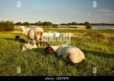 Sheep on the Elbe - dyke near Zollenspieker. It is one of the 35 nature sanctuaries in the administrative area of Hamburg. - Stock Photo