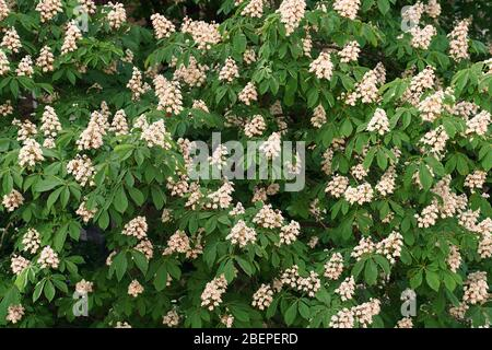 Blooming chestnut tree blossom outdoor. White candles of chestnut tree. - Stock Photo