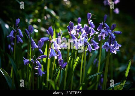 Bluebells (Hyacinthoides non-scripta) flowering in an English woodland