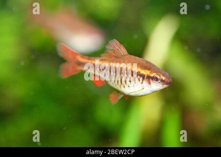 The cherry barb (Puntius titteya) is a freshwater fish of the carp family (Cyprinidae)Die Bitterlingsbarbe (Puntius titteya) ein  Süßwasserfisch aus - Stock Photo