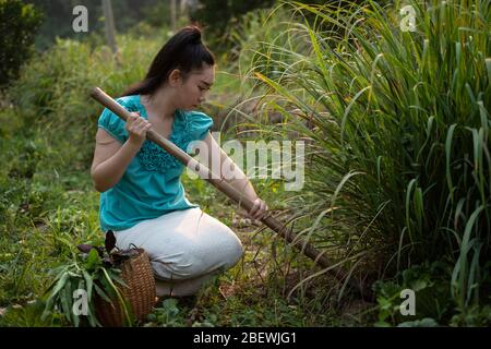 Lifestyle of rural Asia woman digging up lemongrass on a garden, Growing organic vegetables herself concept, Asian women in the field of countryside T - Stock Photo